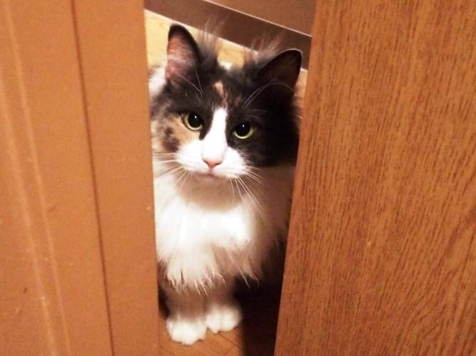 ドアの隙間の三毛