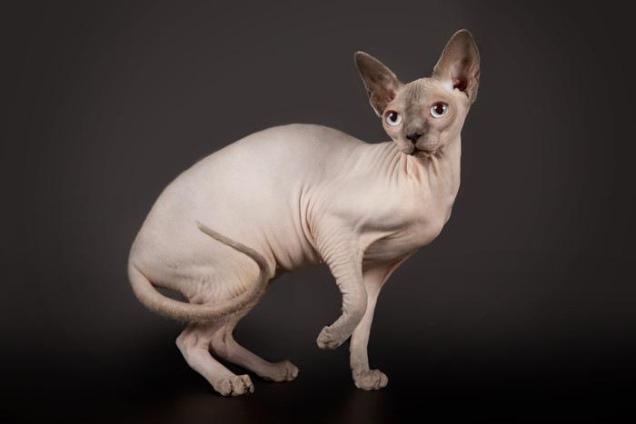 横向きの毛の無い猫