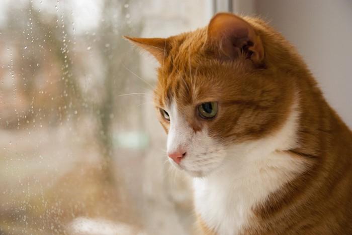 窓の外を見つめる悲しげな猫