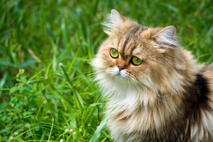 ロングヘアの猫