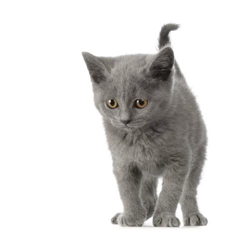 シャルトリューの子猫