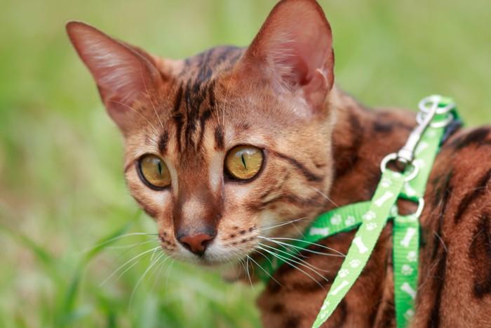 ハーネスを付けた猫