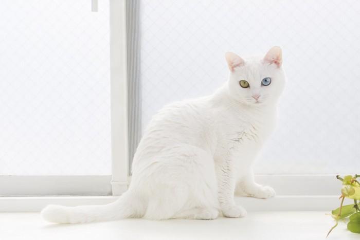 白いオッドアイの猫