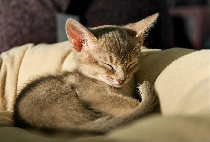 眠るアビシニアン子猫