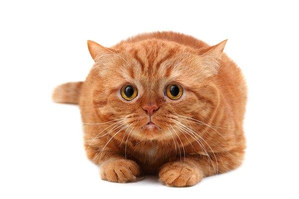 こちらを見る茶色い猫
