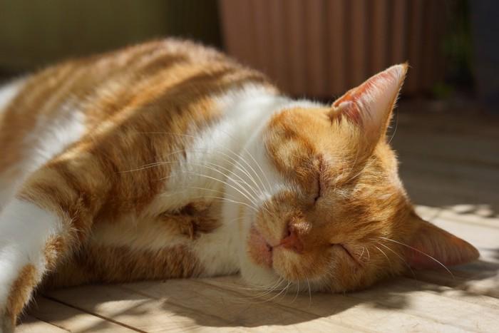 寝そべる茶トラ