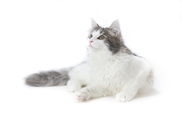 綺麗な毛並みの長毛猫
