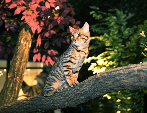 ベンガル木の上3