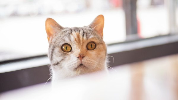 テーブル越しから見る猫