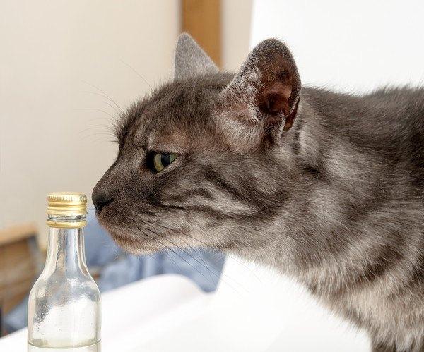 瓶の匂いを嗅ぐ猫