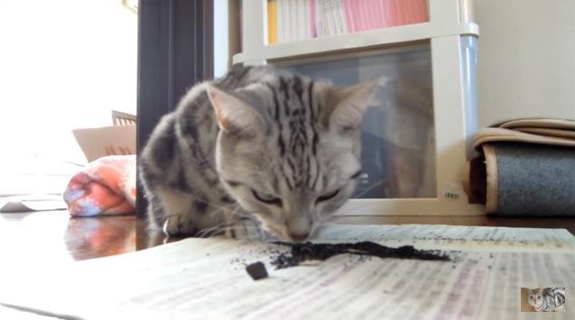 炭のニオイを嗅ぐ猫