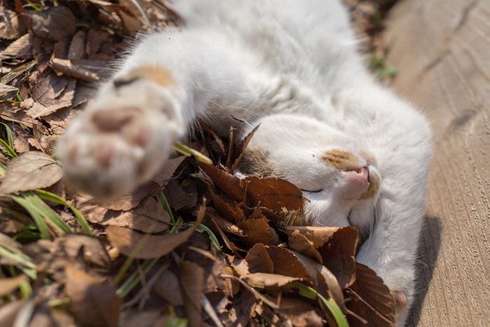 仰向けで寝る野良猫