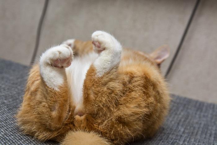 足を見せて仰向けで寝る猫