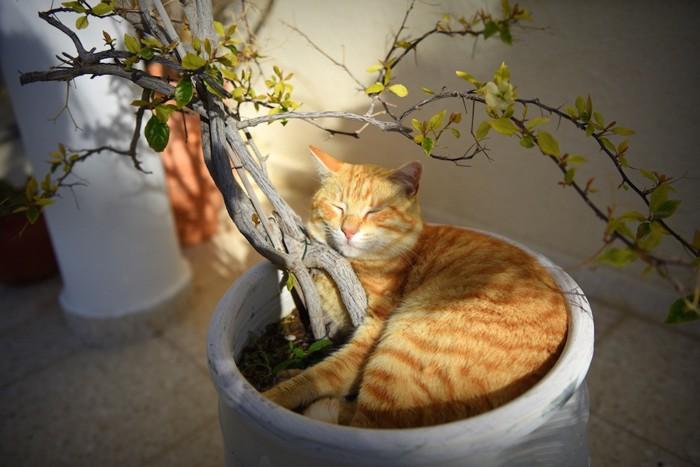 植木で丸まったトラ猫