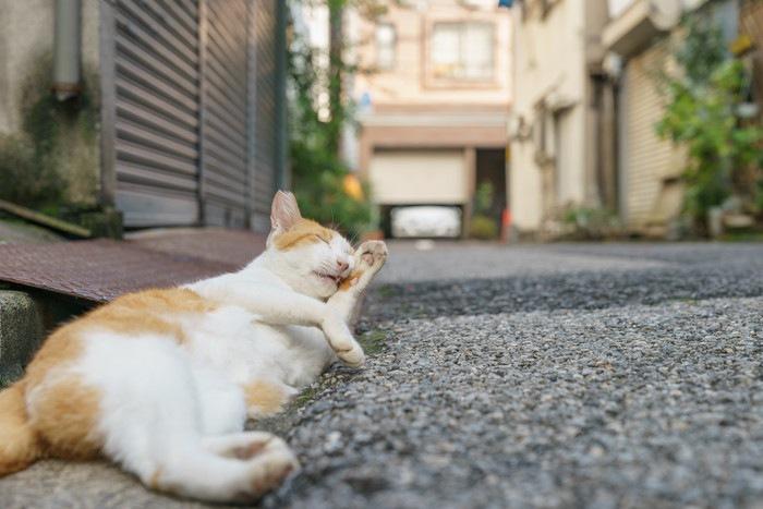 野良の茶白猫