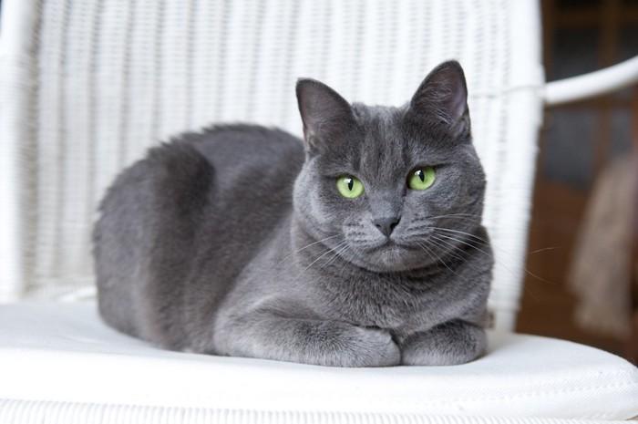 椅子の上で香箱座りをする猫