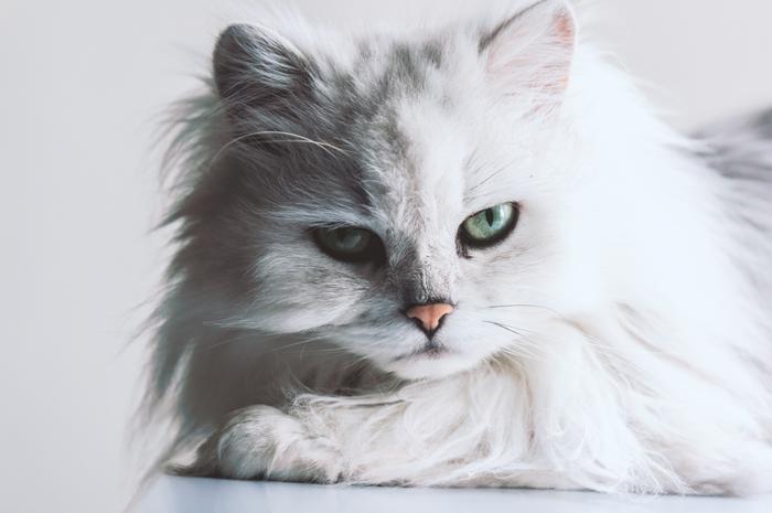 ペルシャ猫アップ
