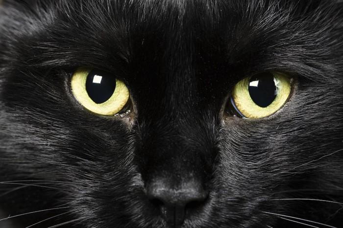 大きな瞳の黒猫アップ