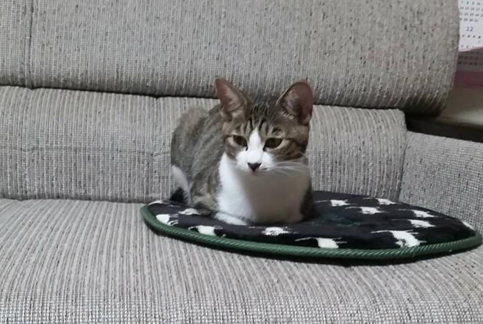 ソファーで香箱座りをする猫