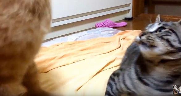 びっくりして見上げるサバトラ猫