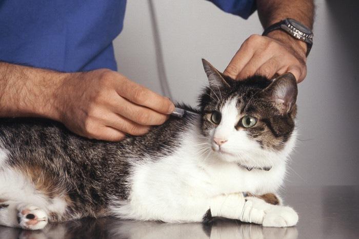 ワクチン接種する猫