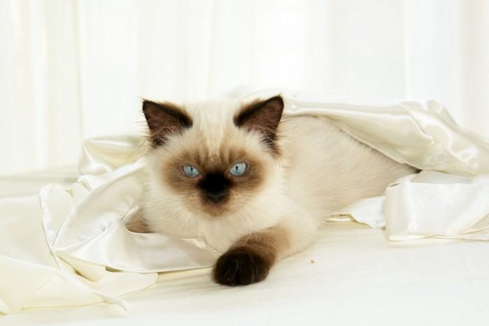 シーツの上のヒマラヤンの子猫