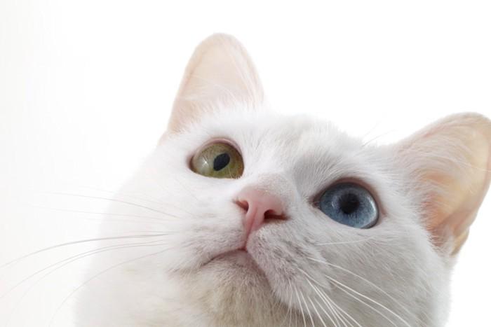 アッドアイの白猫