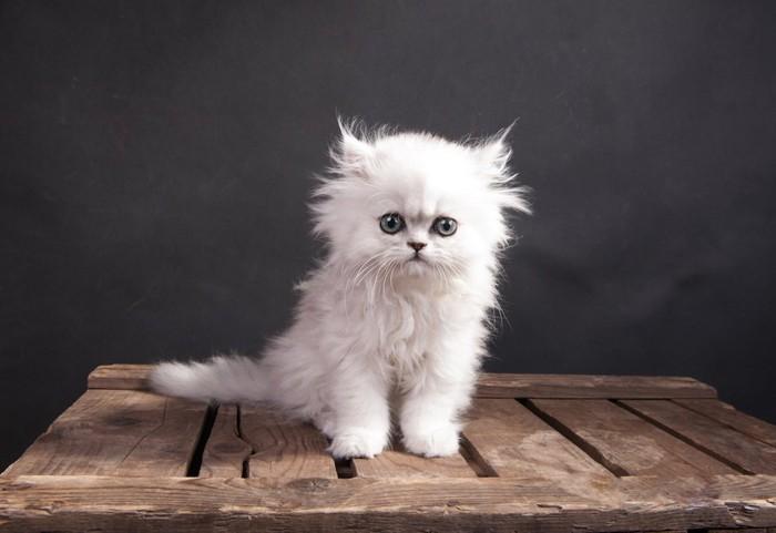 木の箱の上に座るチンチラシルバーの子猫