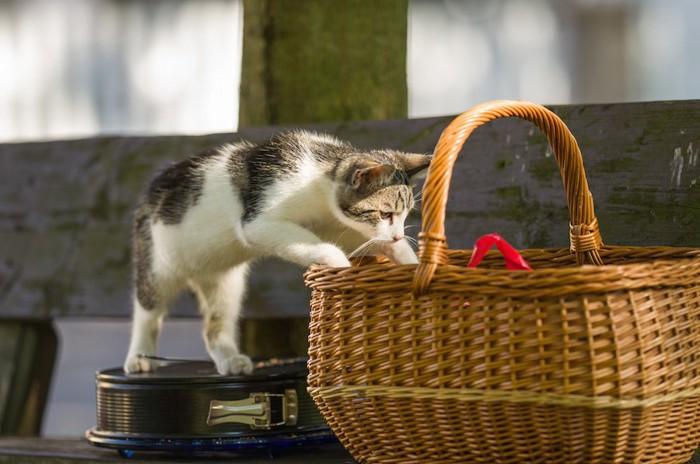 バスケットの中を覗いて入ろうとする猫