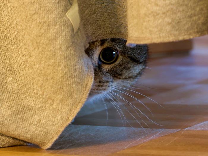 瞳孔を大きく開いてカーテンからのぞいている猫
