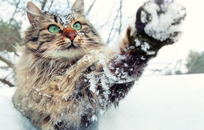 雪の中活発な長毛猫