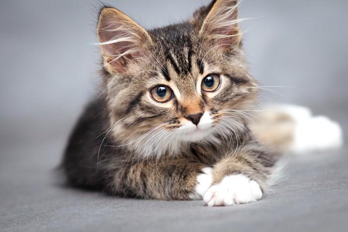 綺麗な瞳の子猫