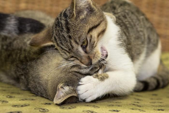 甘噛みをしている猫