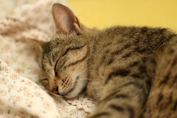 シーツで眠る子猫