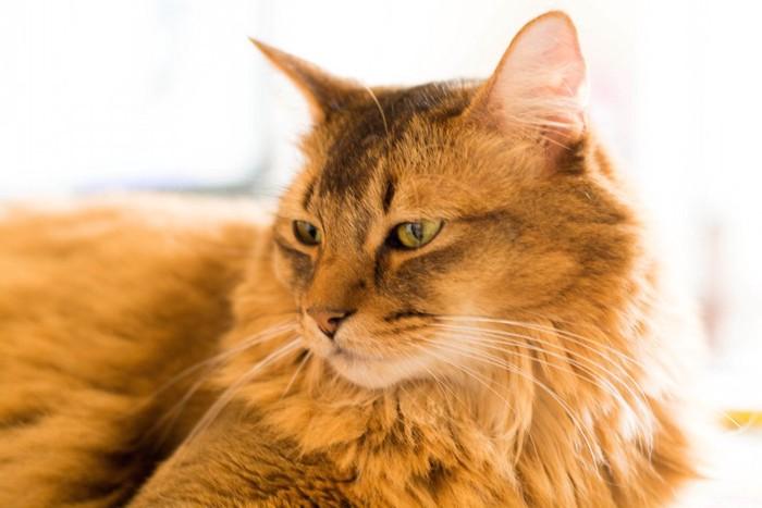 日なたぼっこをする長毛の老猫
