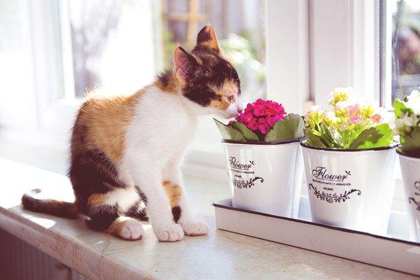 花瓶に入った花の臭いを嗅ぐ三毛猫