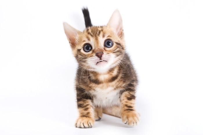 ベンガルの子猫の写真