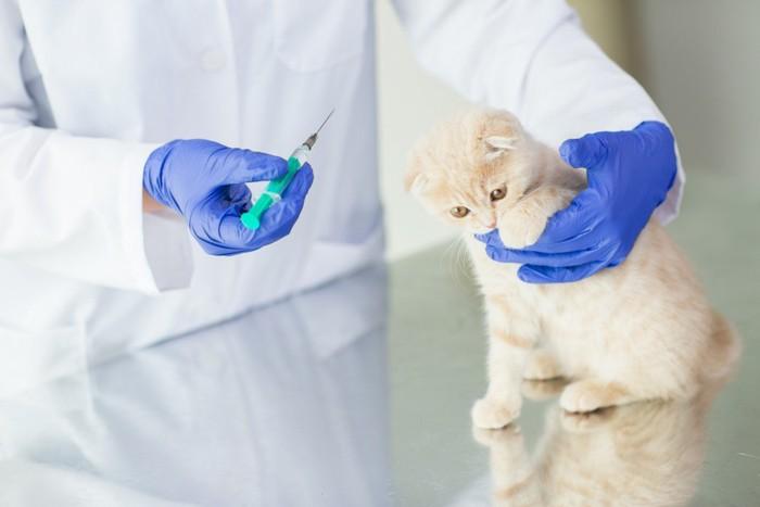 治療されるスコティッシュフォールドの子猫