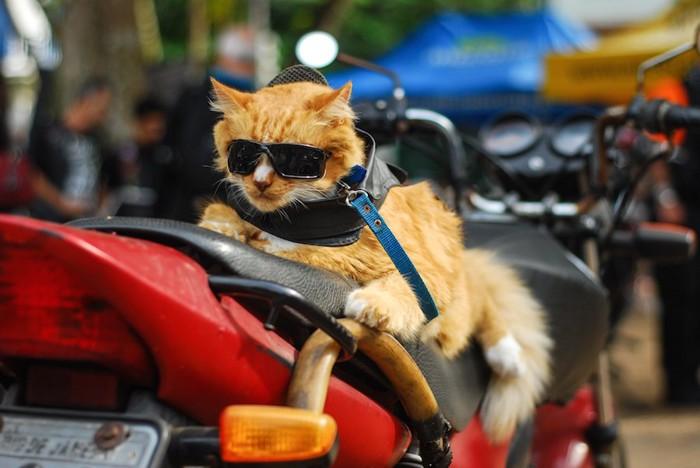 ライダーの格好をしたバイク好きの猫