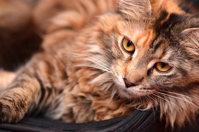 ふわふわの毛の猫