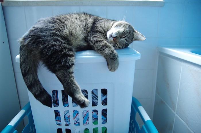 洗濯籠の上で寝る猫