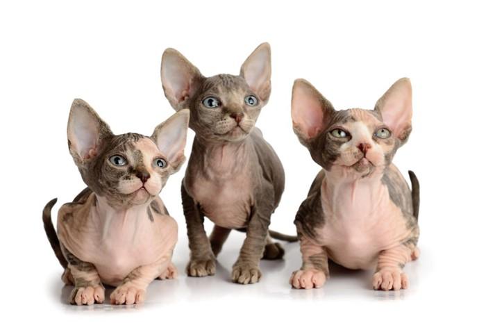 三匹の無毛の子猫