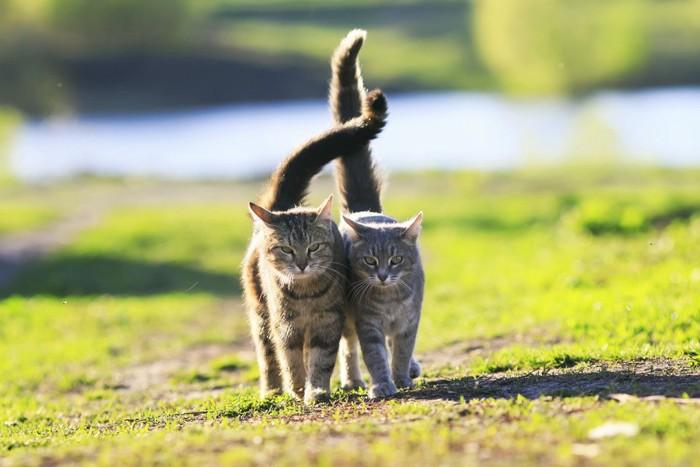 くっついて散歩をする猫達