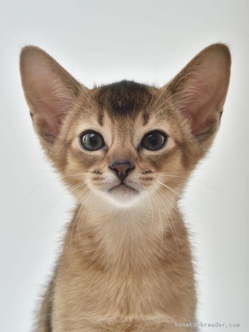 子猫のアビシニアンルディ1