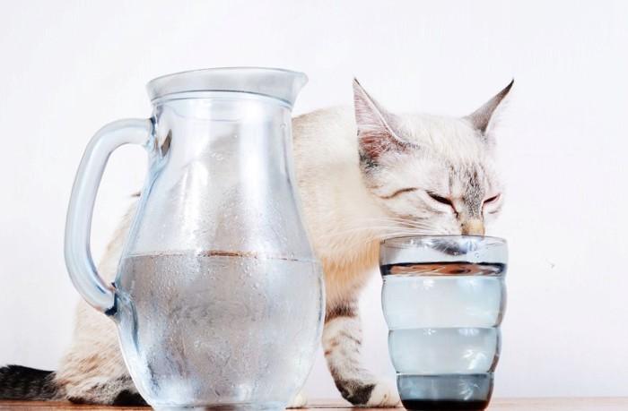 コップの水を飲む猫