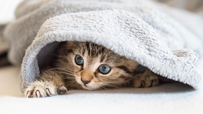 ブランケットの中に隠れる子猫