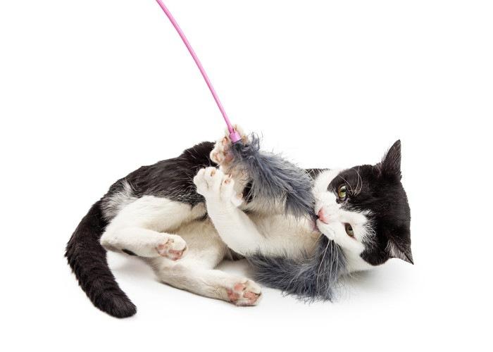 猫じゃらしで遊ぶ猫の写真