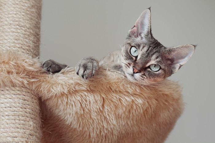 52404660 キャットタワーハンモックと猫