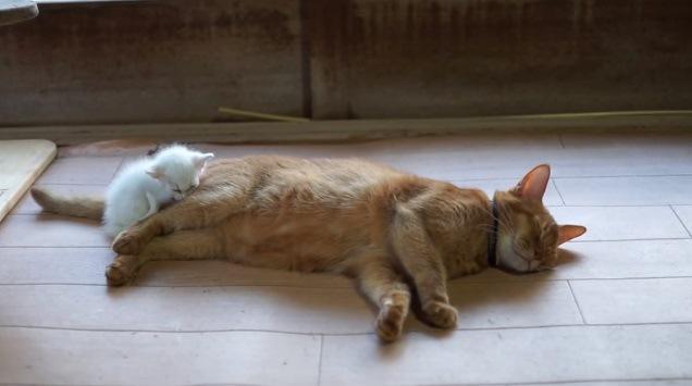 眠る白猫と成猫