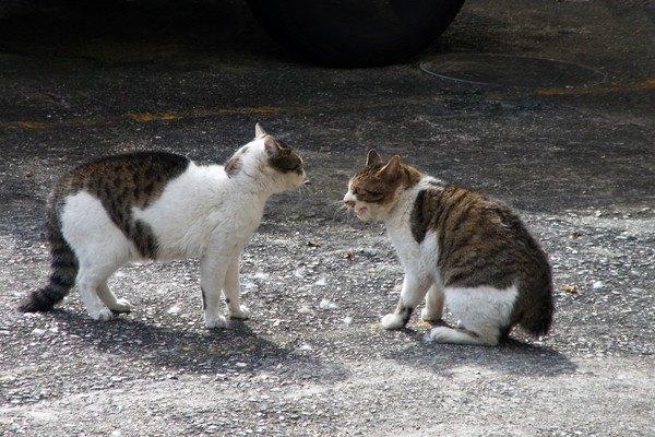 睨み合う2匹の猫